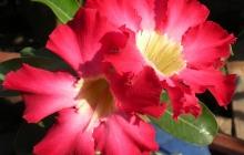 rose-flower-11